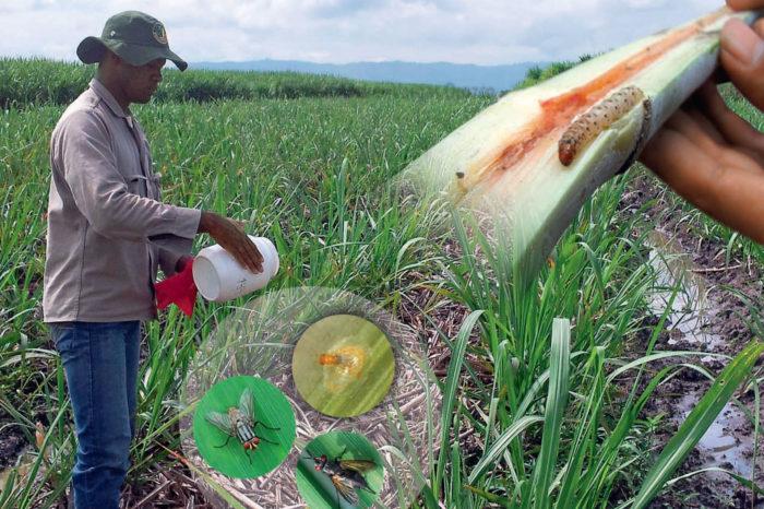 Evaluación del daño de los barrenadores Diatraea spp. y su control. Guía metodológica