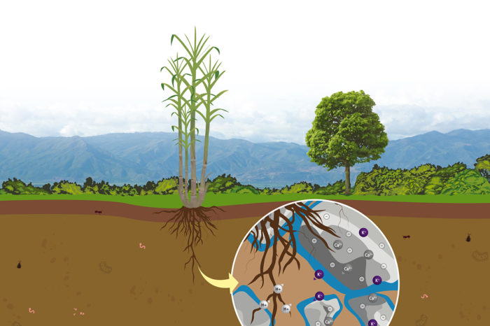 Basic concepts of the soil and its fertility for the nutrition of sugar cane