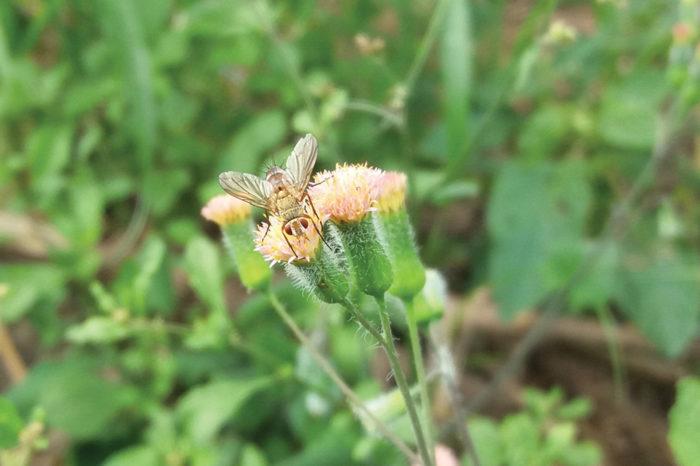 Arvenses y moscas: una relación hacia el control biológico por conservación