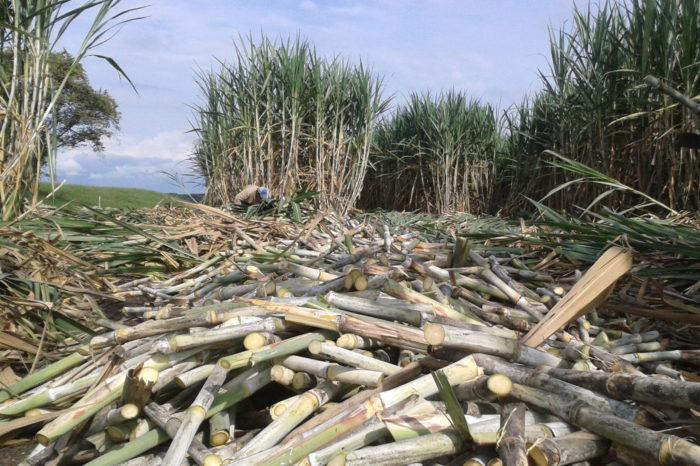 Bagazo de caña de azúcar produciría biocombustibles avanzados