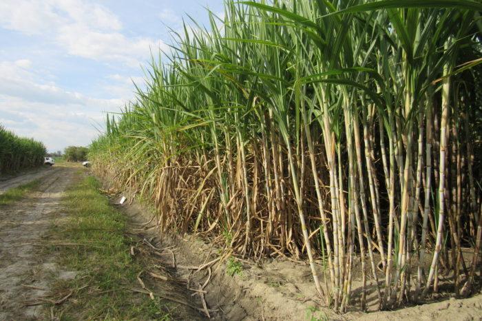 El genoma de la variedad CC 01-1940 y su importancia para la industria azucarera colombiana, 13-may-2020