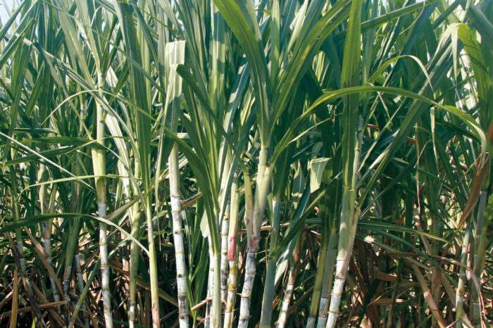 Colombia rebuilds the genome of its main sugarcane variety