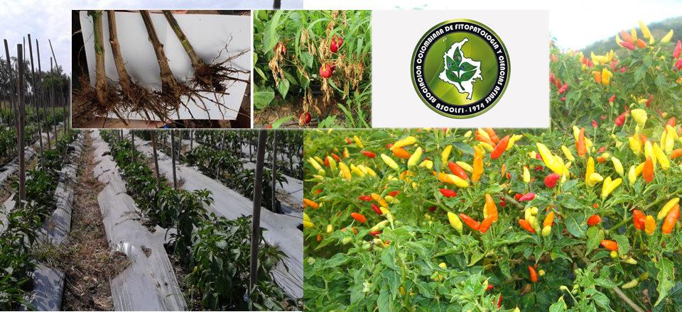 Obtención de Cultivares de Capsicum spp. Resistentes a Phytophthora capsici Leonian, 26-jun-2020