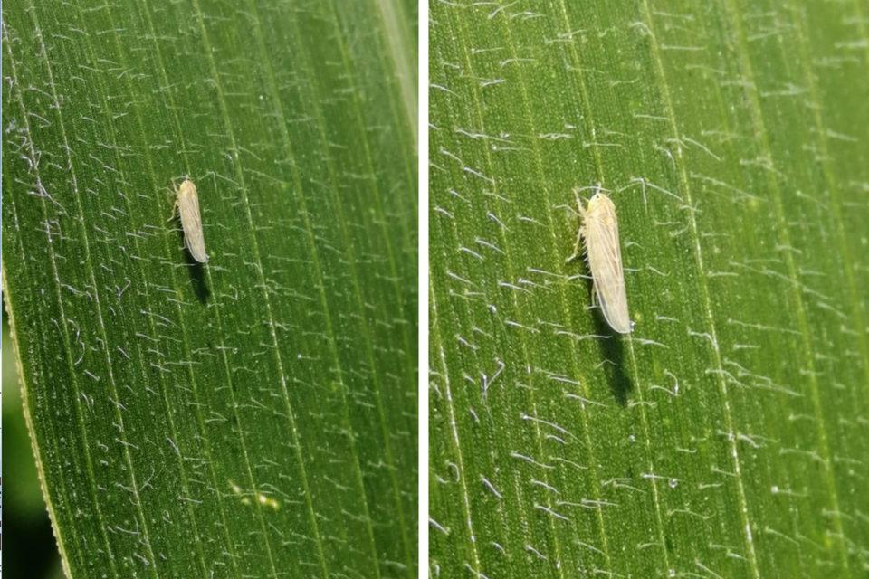 Plaga que ataca cultivos de maíz en el Valle del Cauca  no estaría asociada a la caña de azúcar
