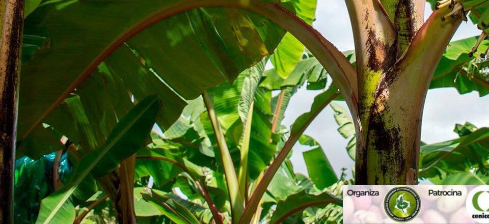 Amenazas fitosanitarias de musáceas: más allá de LA raza 4 Tropical, 14-ago-2020