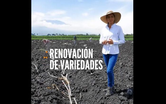 #Tips para agricultores | Consejos para la renovación de variedades de caña, Renovación de variedades