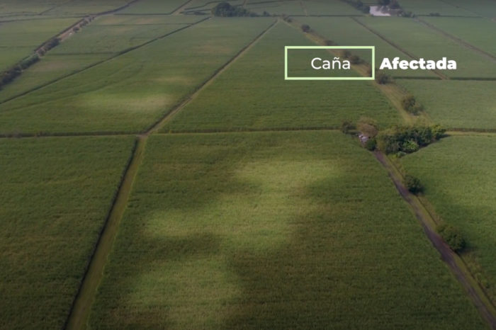 Spittlebug: control and management of the pest in sugarcane cultivation